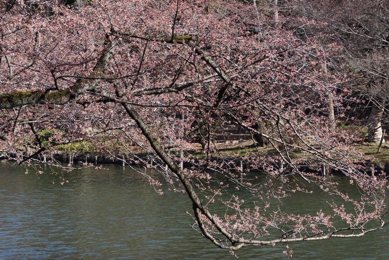 桜の蕾も花盛り_f0006713_22065085.jpg