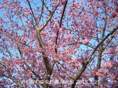 寒川町 桜 開花状況 2015年 春_d0240916_1493874.jpg