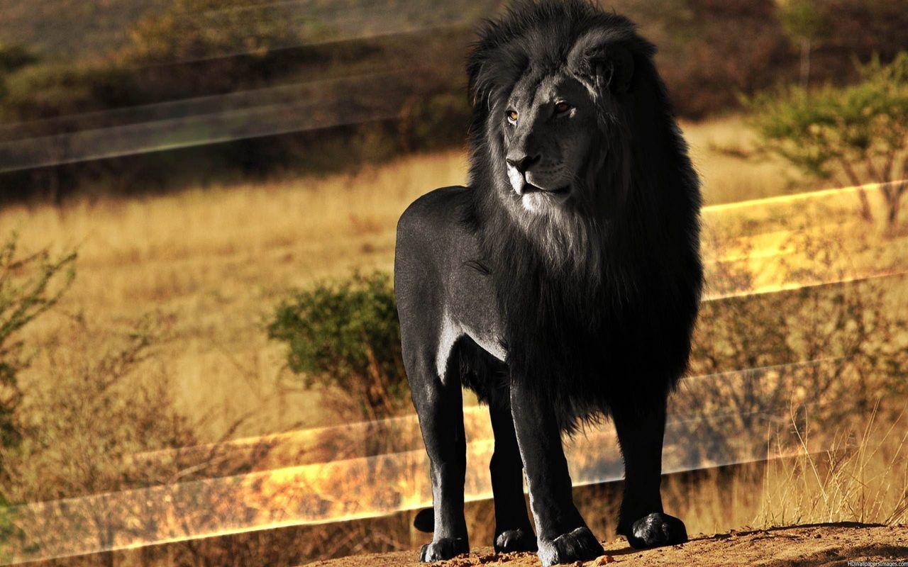 メラニズム風ライオン