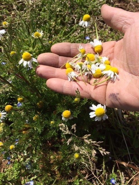 春の日差し・・カモミールや春キャベツ 蚕豆やエンドウ豆達 ニンニク達もムクッと_c0222448_14274262.jpg