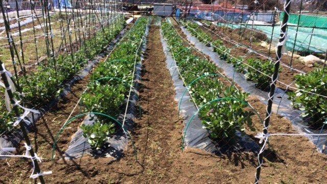 春の日差し・・カモミールや春キャベツ 蚕豆やエンドウ豆達 ニンニク達もムクッと_c0222448_14281445.jpg