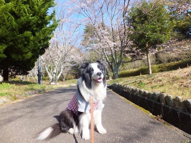 公園の桜_b0177649_21314191.jpg