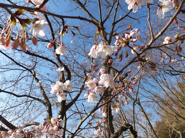 公園の桜_b0177649_21344762.jpg
