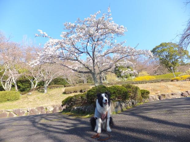 公園の桜_b0177649_21351257.jpg