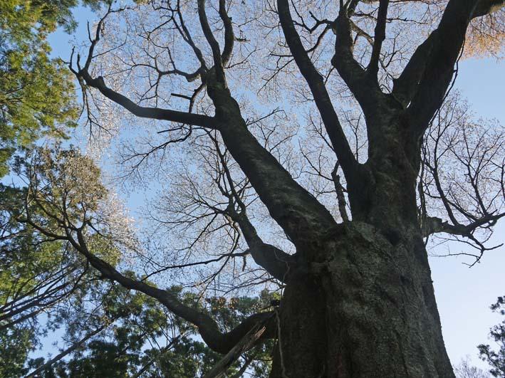 六国見山森林公園の夫婦桜五分咲き、今週末見頃か3・25_c0014967_11594259.jpg