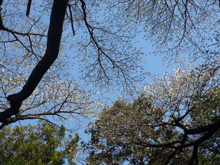 六国見山森林公園の夫婦桜五分咲き、今週末見頃か3・25_c0014967_11595712.jpg