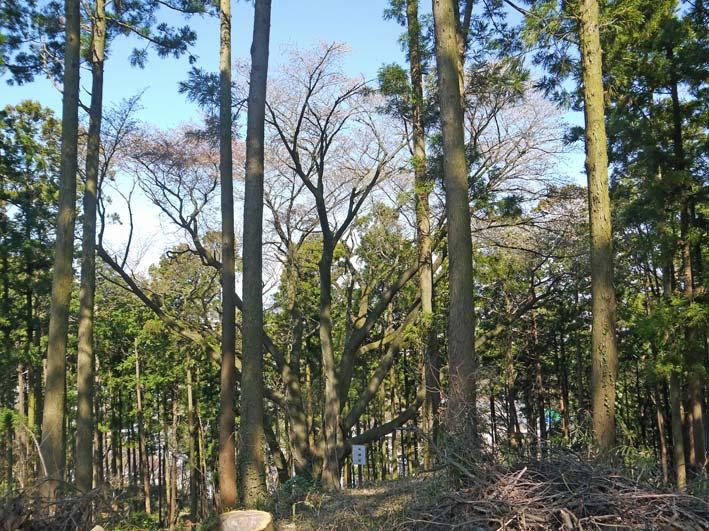 六国見山森林公園の夫婦桜五分咲き、今週末見頃か3・25_c0014967_1212222.jpg