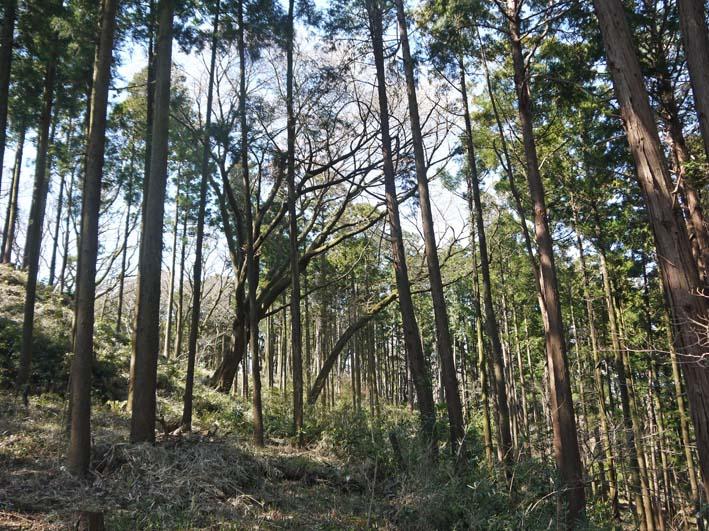 六国見山森林公園の夫婦桜五分咲き、今週末見頃か3・25_c0014967_1214455.jpg