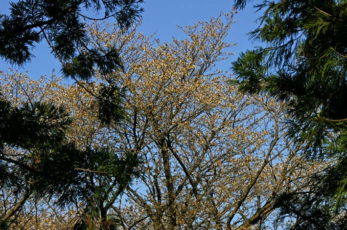六国見山森林公園の夫婦桜五分咲き、今週末見頃か3・25_c0014967_1215571.jpg