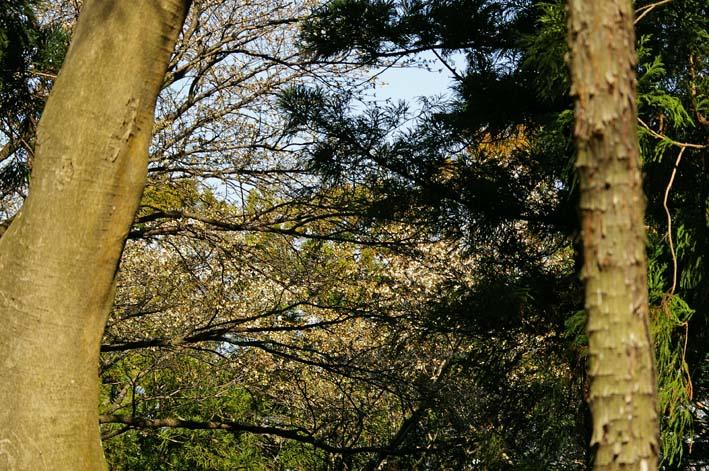 六国見山森林公園の夫婦桜五分咲き、今週末見頃か3・25_c0014967_1221826.jpg