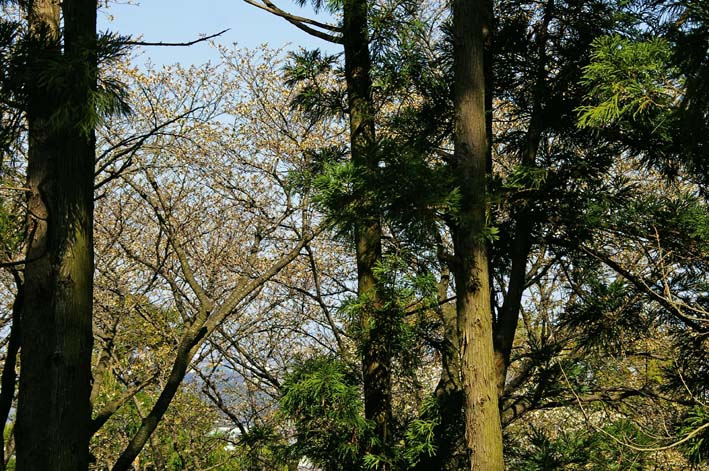 六国見山森林公園の夫婦桜五分咲き、今週末見頃か3・25_c0014967_12279.jpg