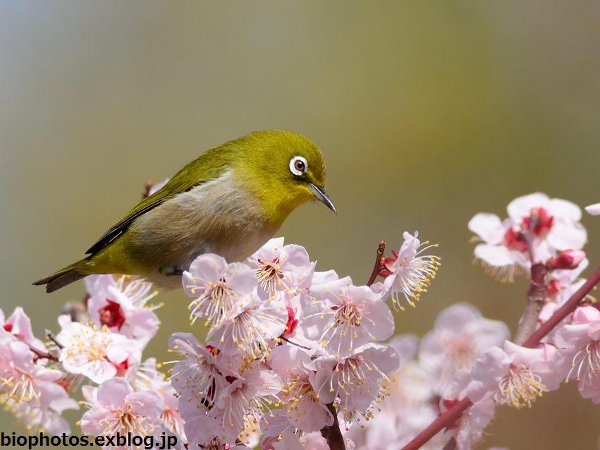 春先の野鳥たち 2015春 : 鳥×撮...
