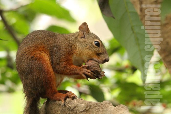 ニホンリス:Japanese squirrel_b0249597_591967.jpg