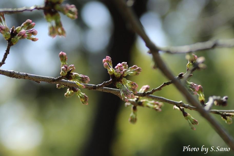 称名寺の自然(3月下旬)_b0348205_17202091.jpg