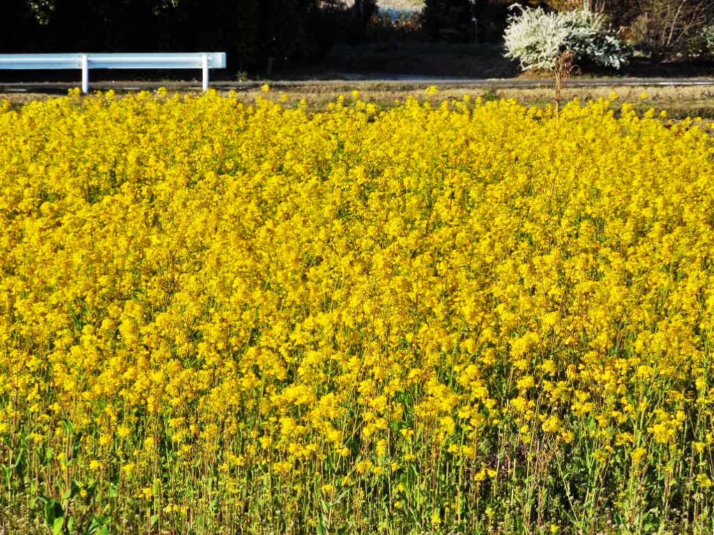 「菜の花 2015」_a0120513_18244574.jpg