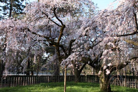 2015の桜4 近衛邸跡_e0048413_21422557.jpg