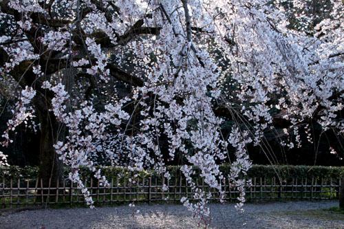 2015の桜4 近衛邸跡_e0048413_21423818.jpg