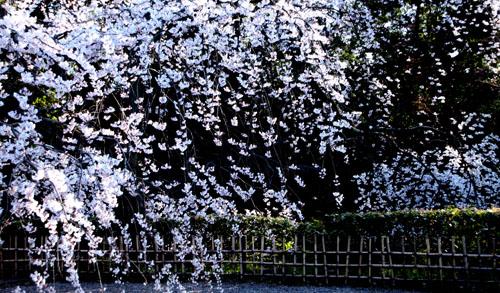 2015の桜4 近衛邸跡_e0048413_2143315.jpg