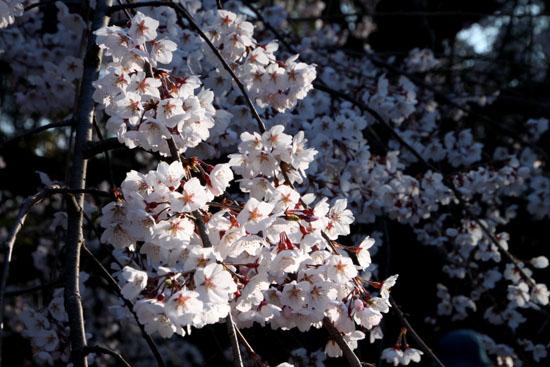2015の桜4 近衛邸跡_e0048413_21434660.jpg