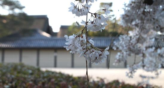 2015の桜4 近衛邸跡_e0048413_21441818.jpg