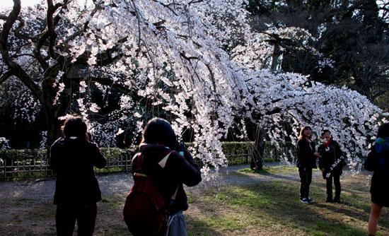 2015の桜4 近衛邸跡_e0048413_2144345.jpg