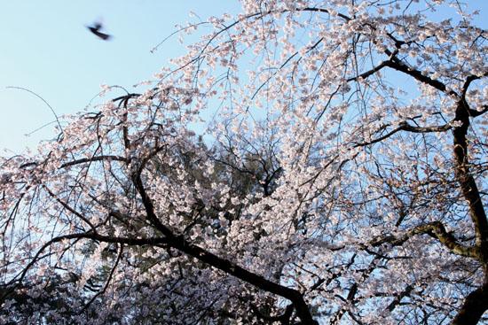 2015の桜4 近衛邸跡_e0048413_2144497.jpg
