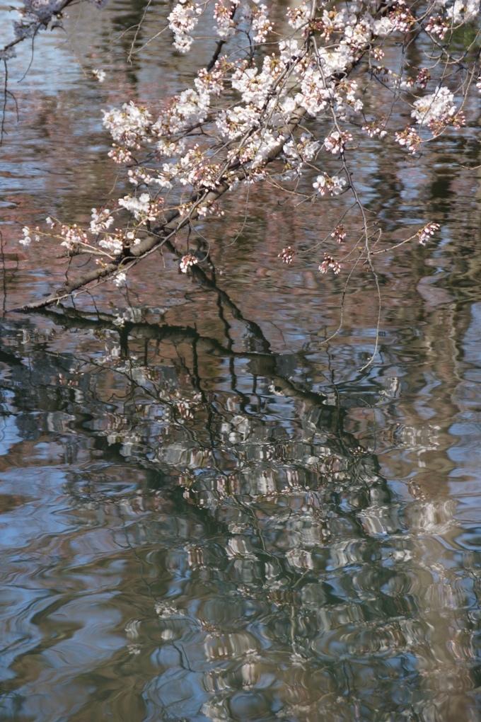 桜は水面も五分咲きに_f0006713_22333529.jpg