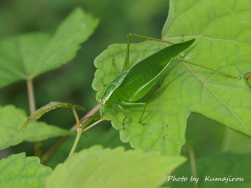 ナカオレツユムシ 幼虫と成虫_b0192746_16345162.jpg