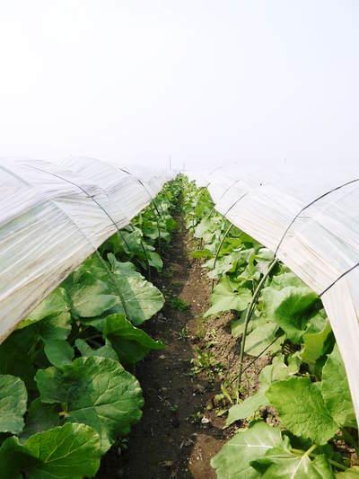 有機栽培の水田ごぼう ごぼうの成長_a0254656_18544260.jpg