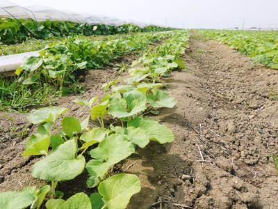 有機栽培の水田ごぼう ごぼうの成長_a0254656_1982516.jpg