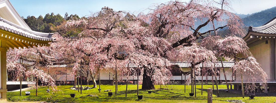 桜  2015    <醍醐寺霊宝館>                          _f0021869_22292350.jpg
