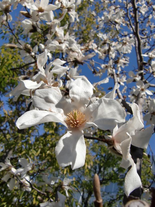 コブシの花が咲きました(●^o^●)_b0263390_10141296.jpg