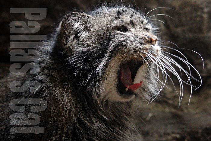 マヌルネコ:Pallas\'s Cat_b0249597_5232379.jpg