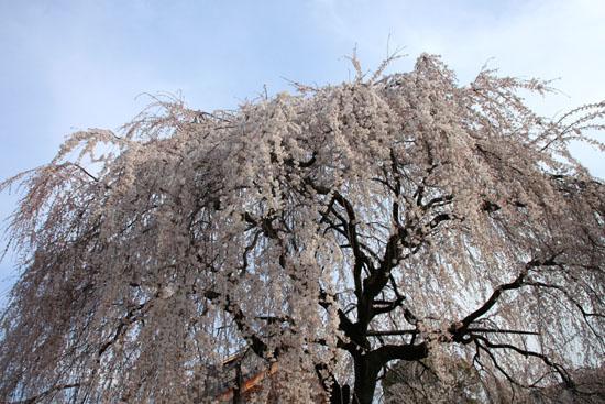本満寺 2015の桜5_e0048413_212814.jpg