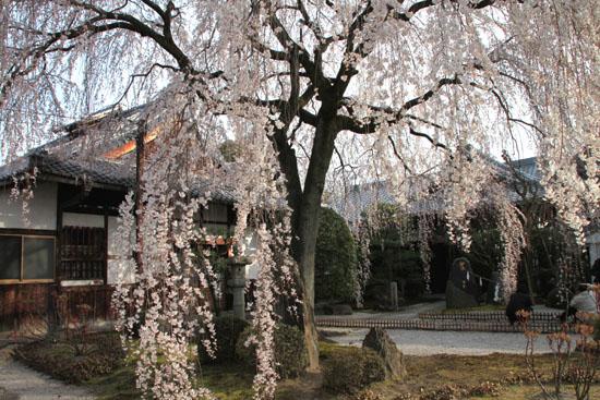 本満寺 2015の桜5_e0048413_21281696.jpg