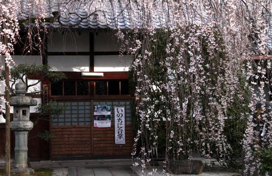 本満寺 2015の桜5_e0048413_21282915.jpg