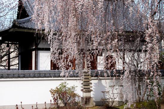 本満寺 2015の桜5_e0048413_21293013.jpg