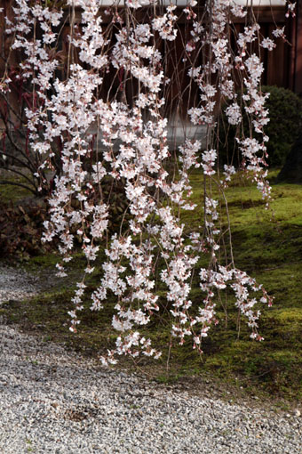 本満寺 2015の桜5_e0048413_21295071.jpg