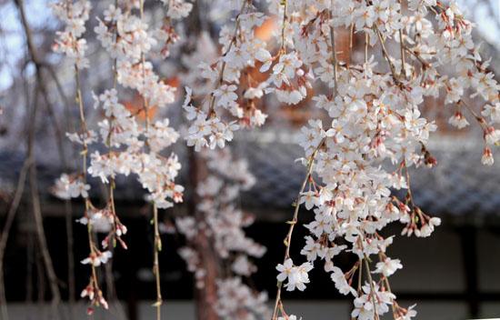 本満寺 2015の桜5_e0048413_2129565.jpg
