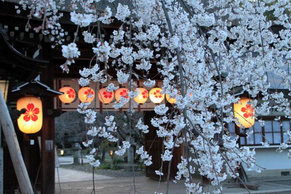 平野神社 魁さくら 2015桜だより6_e0048413_22101669.jpg