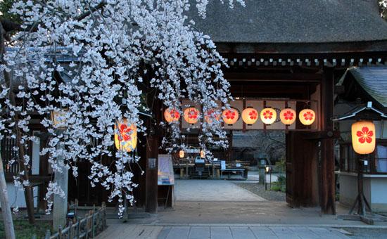 平野神社 魁さくら 2015桜だより6_e0048413_2210230.jpg