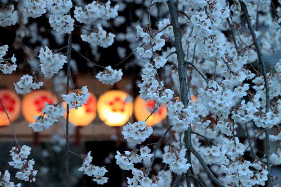 平野神社 魁さくら 2015桜だより6_e0048413_22102971.jpg