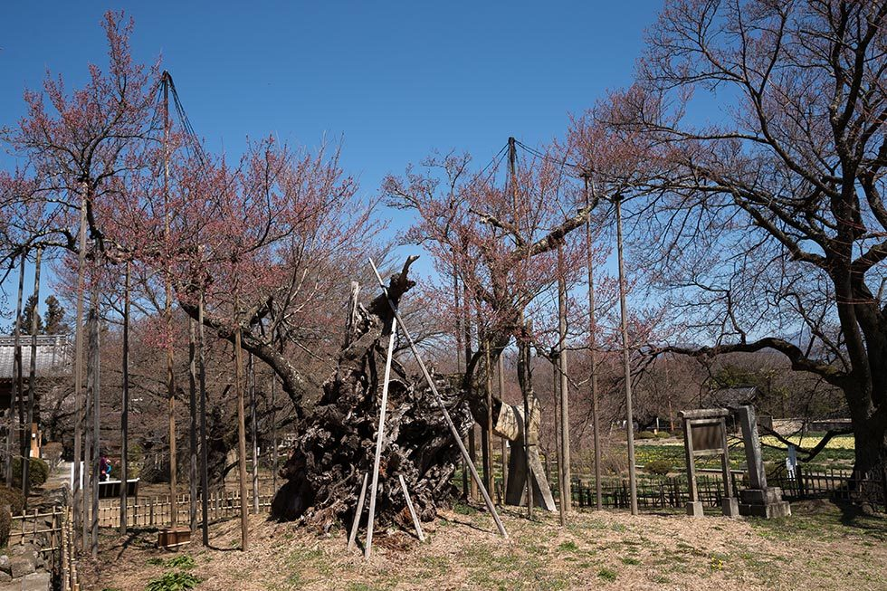 神代桜とわに塚の桜の状況_b0179231_00230507.jpg