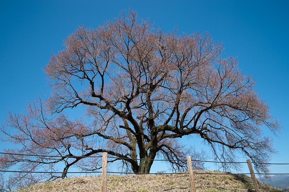 神代桜とわに塚の桜の状況_b0179231_00230554.jpg