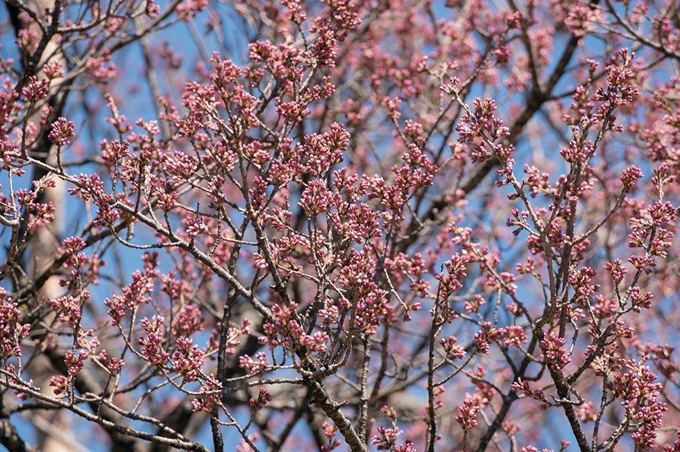 神代桜とわに塚の桜の状況_b0179231_00230558.jpg