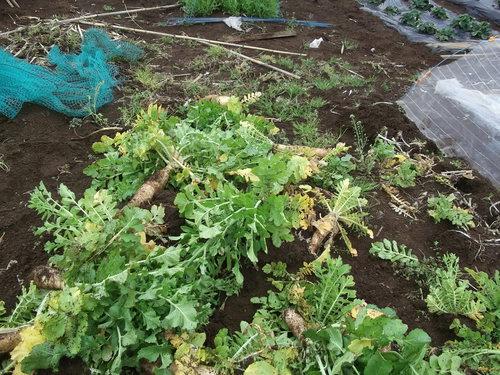 冬野菜徐々に撤収...黄色の花は観賞用_b0137932_8162849.jpg