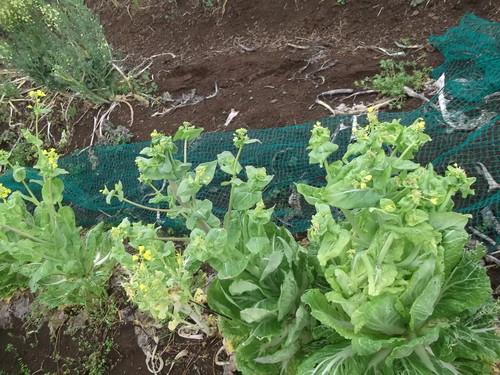 冬野菜徐々に撤収...黄色の花は観賞用_b0137932_8171130.jpg