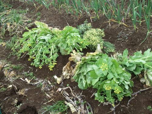 冬野菜徐々に撤収...黄色の花は観賞用_b0137932_8173195.jpg