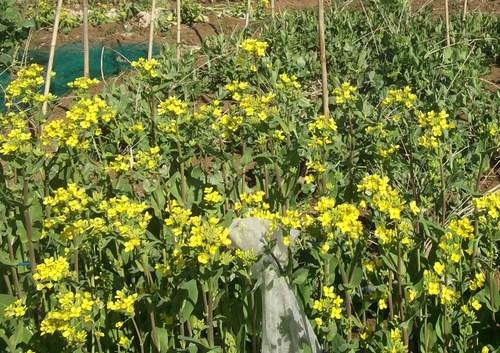 冬野菜徐々に撤収...黄色の花は観賞用_b0137932_8255960.jpg