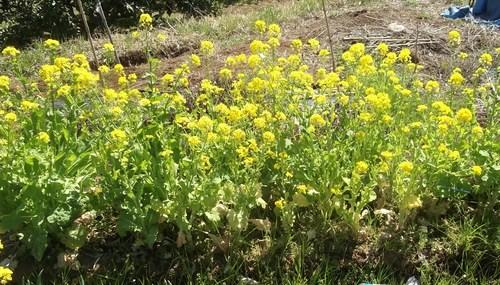 冬野菜徐々に撤収...黄色の花は観賞用_b0137932_8282246.jpg
